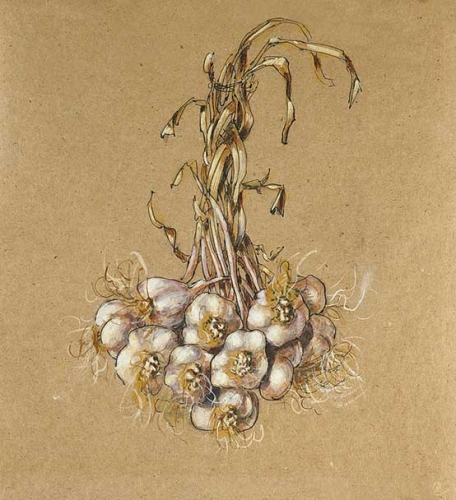 03. Hvitløkbunt II - Bundle of garlic II